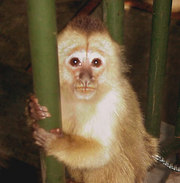 AWESOME CAPOCHIN MONKEY FOR ADOPTION