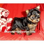 Male and Female Tea Cup Yorkies so if you are interested you can get